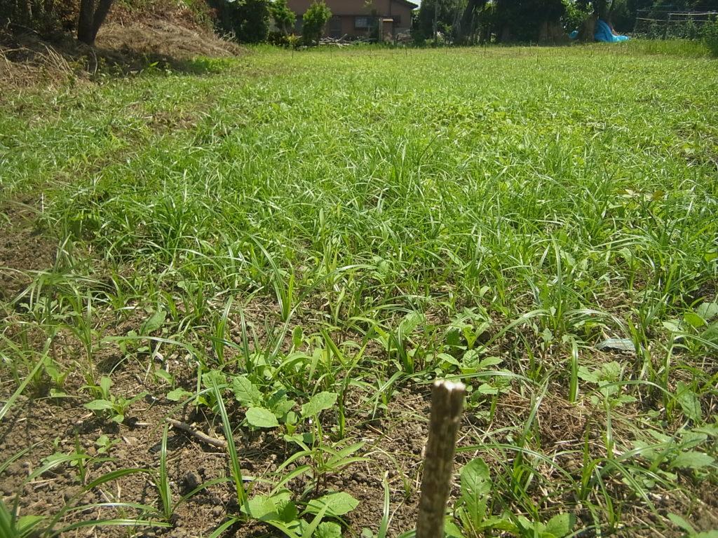 粟と一緒に、草が沢山生えてきた畑。