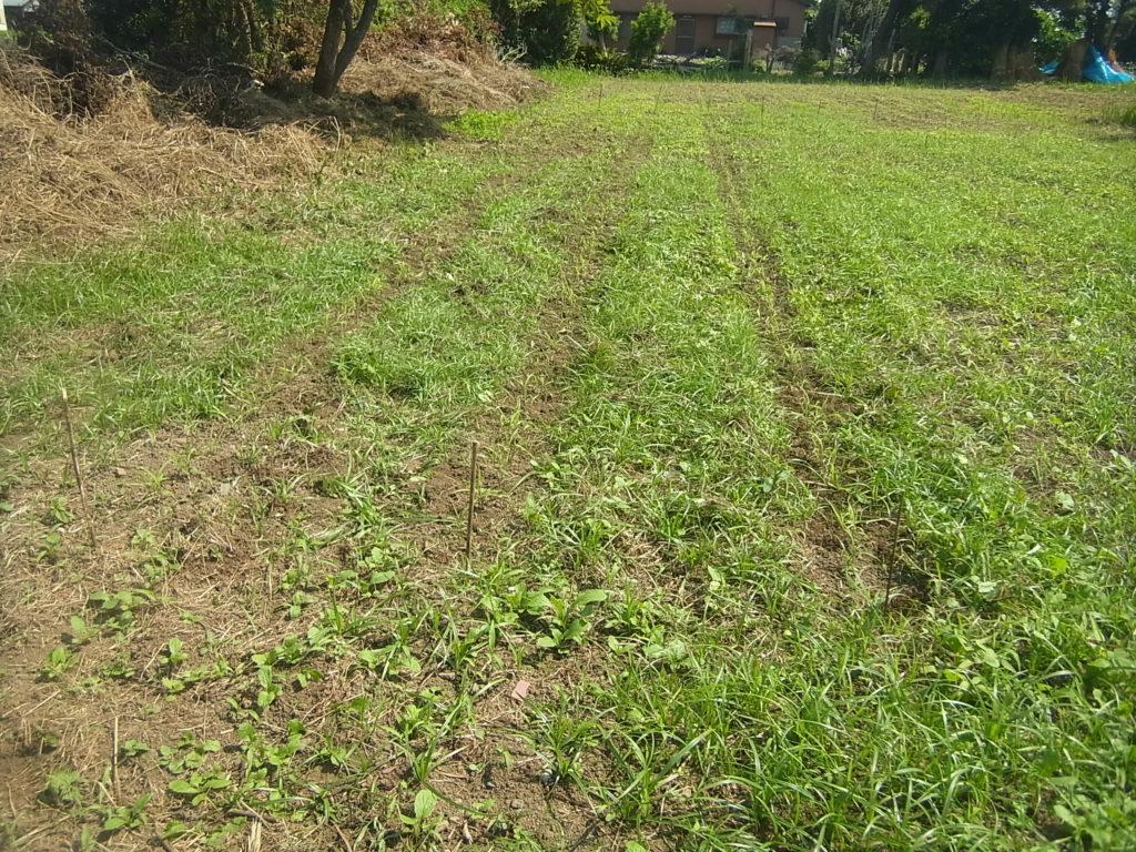 条に沿って、粟の周りを除草。