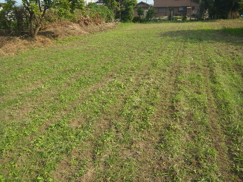 畑の条間に沿って、粟の周りを除草した所。