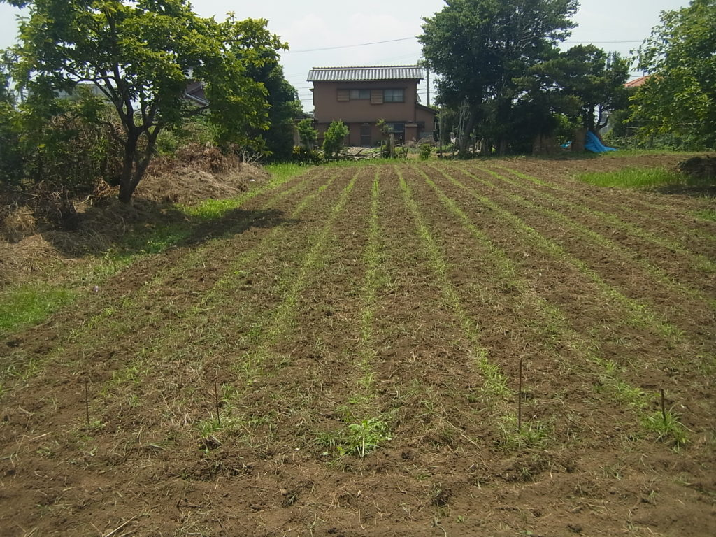 アワ畑を管理機で、条間を中耕した。