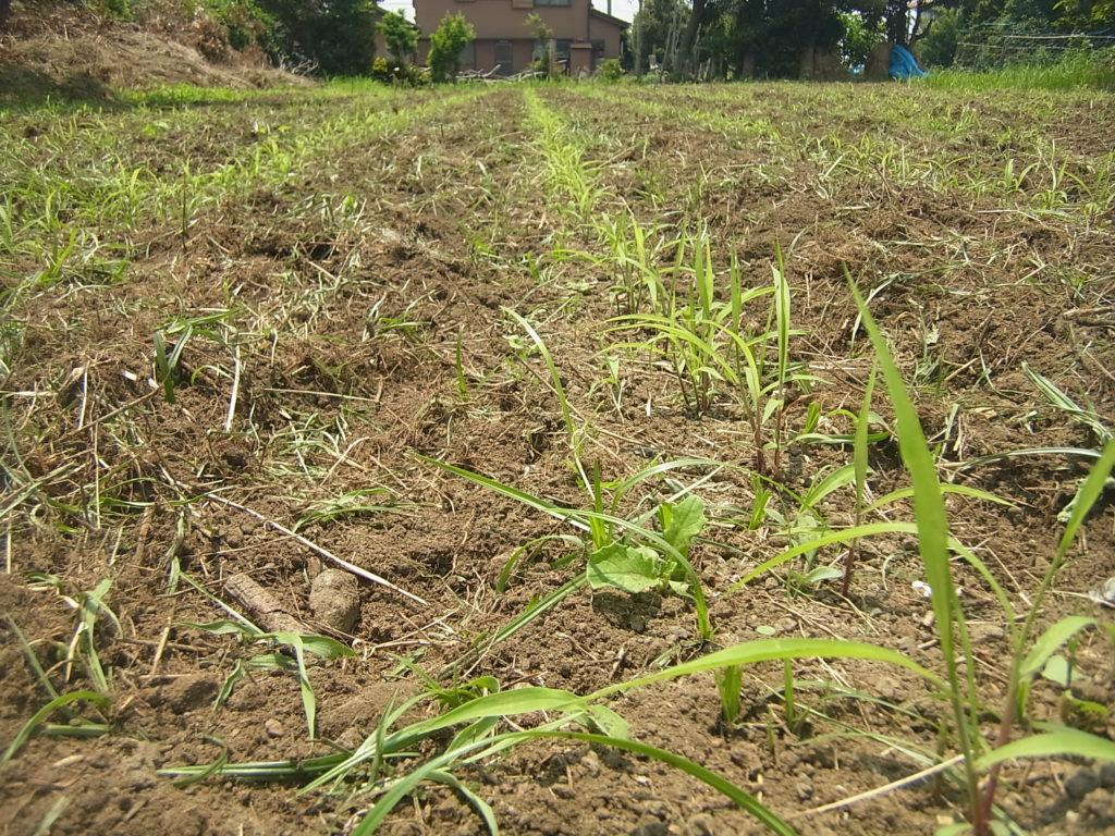 管理機で中耕された粟畑のアップ。