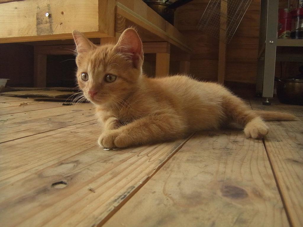 木の床の上に伏せしている猫。