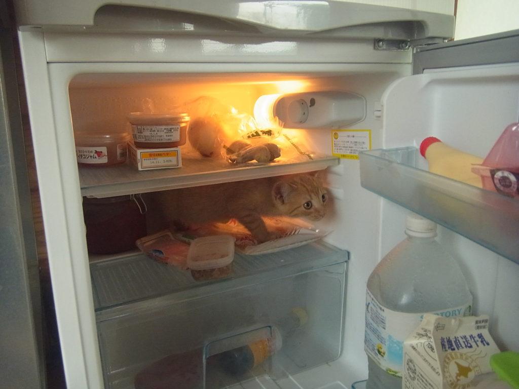 冷蔵庫に入る猫。
