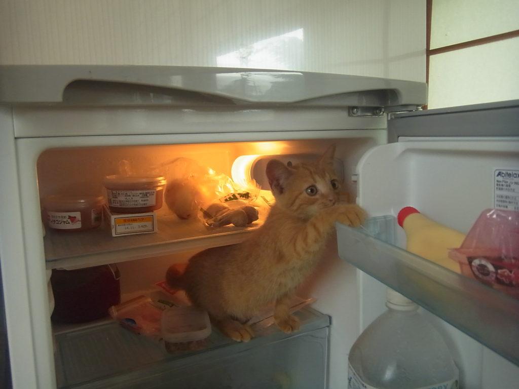 冷蔵庫から、出てこようとする猫。