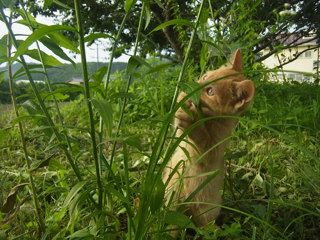2本足で立って草を食べる茶トラの子猫。