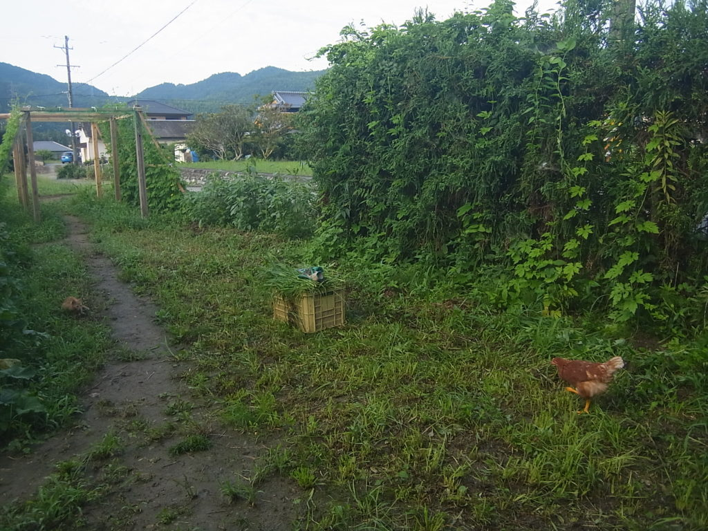 鶏を遠めから狙う猫。