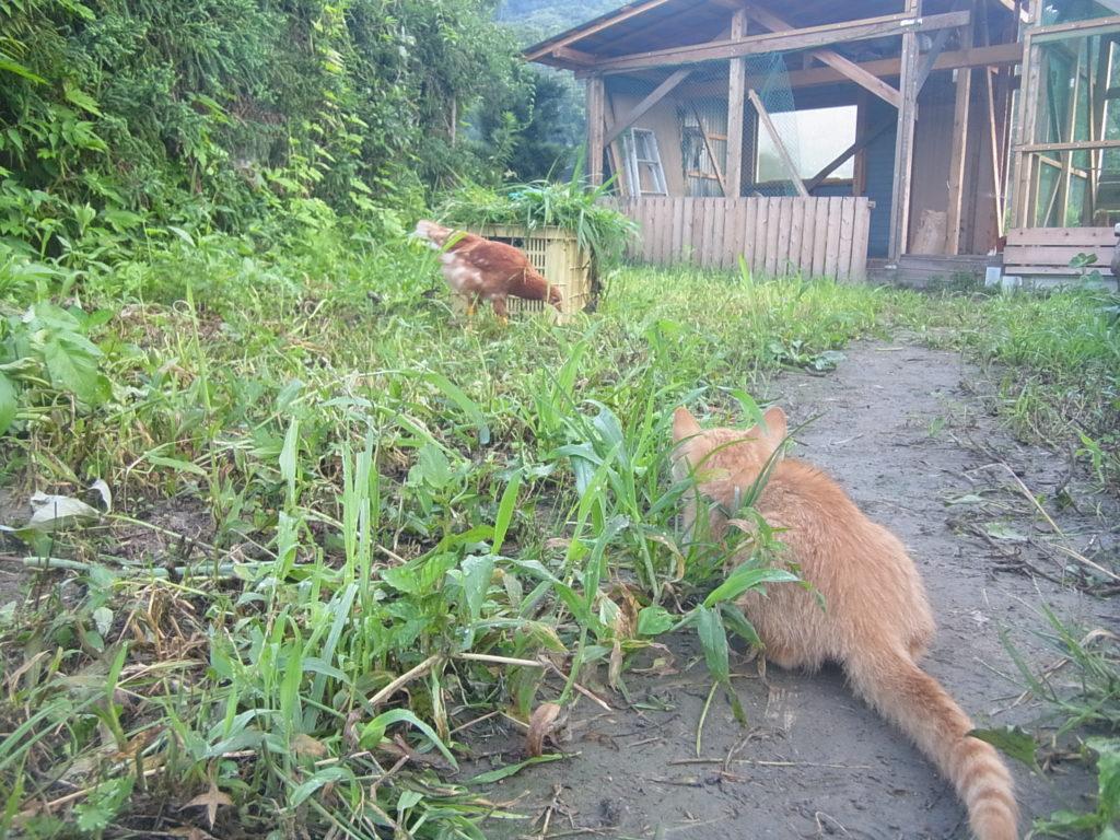 身体をかがめ、鶏を狙う猫。