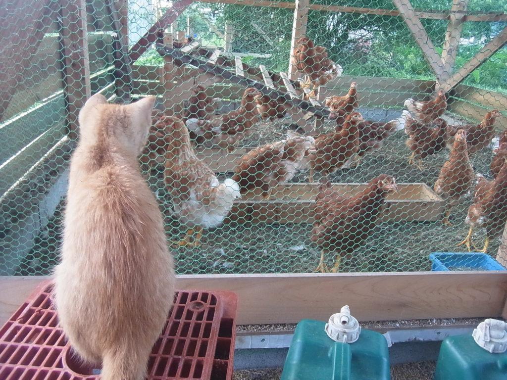鶏舎を眺める猫。