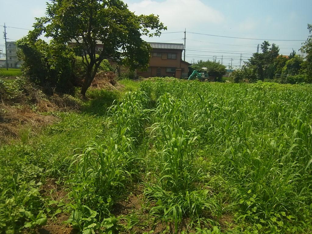スクスク育つ粟畑。