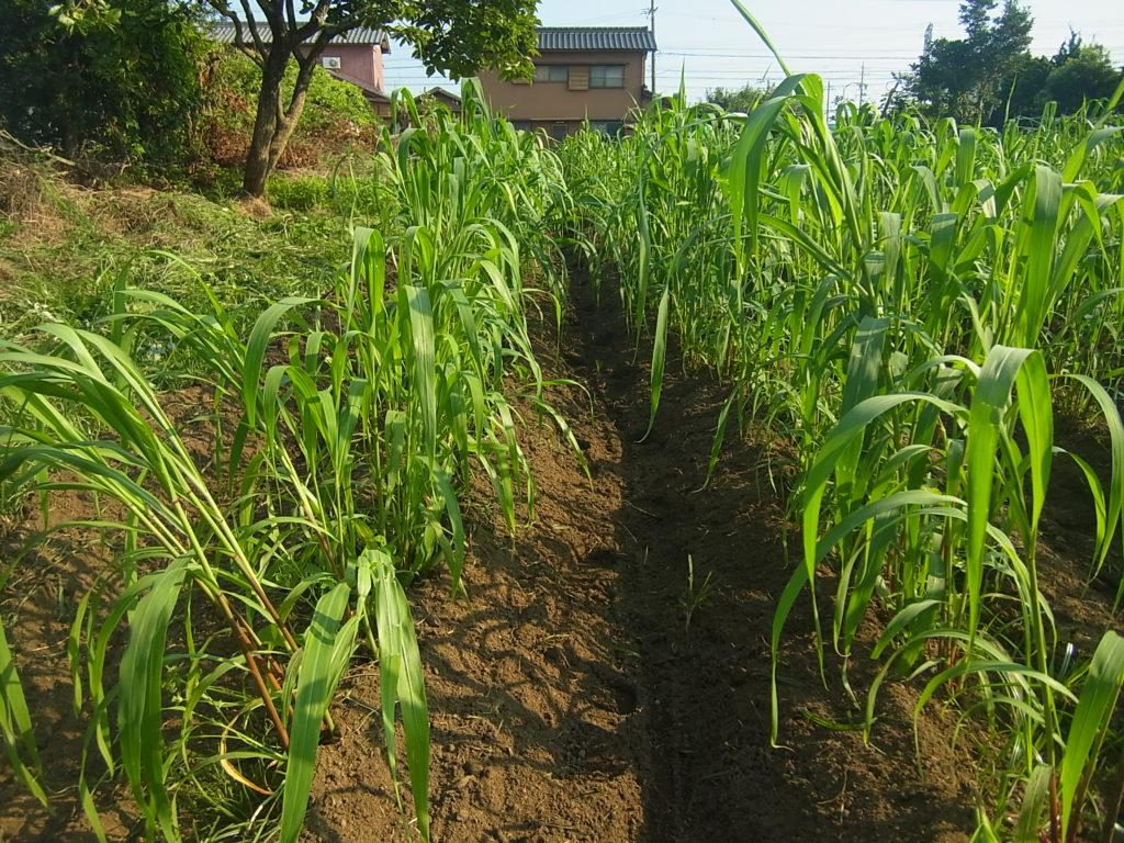 粟畑を中耕、土寄せした。