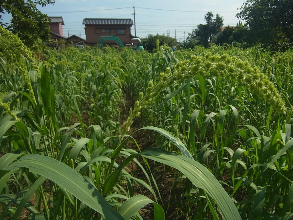 畑で、もち粟が出穂。