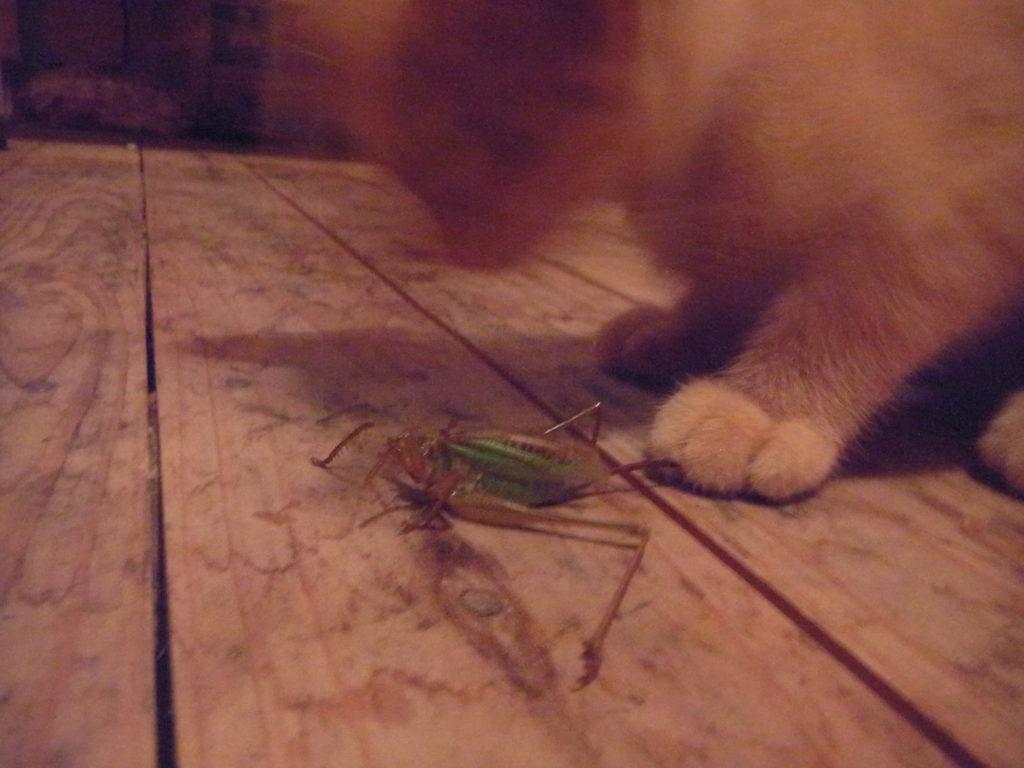 キリギリスを食べる猫。