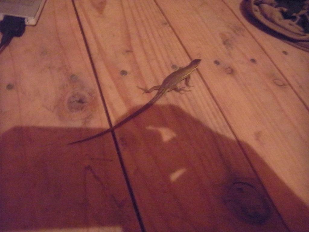 木の床の上のカナヘビ。