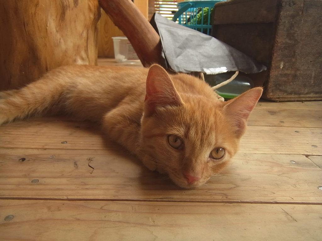 木の床の上に伏せする茶トラ猫。
