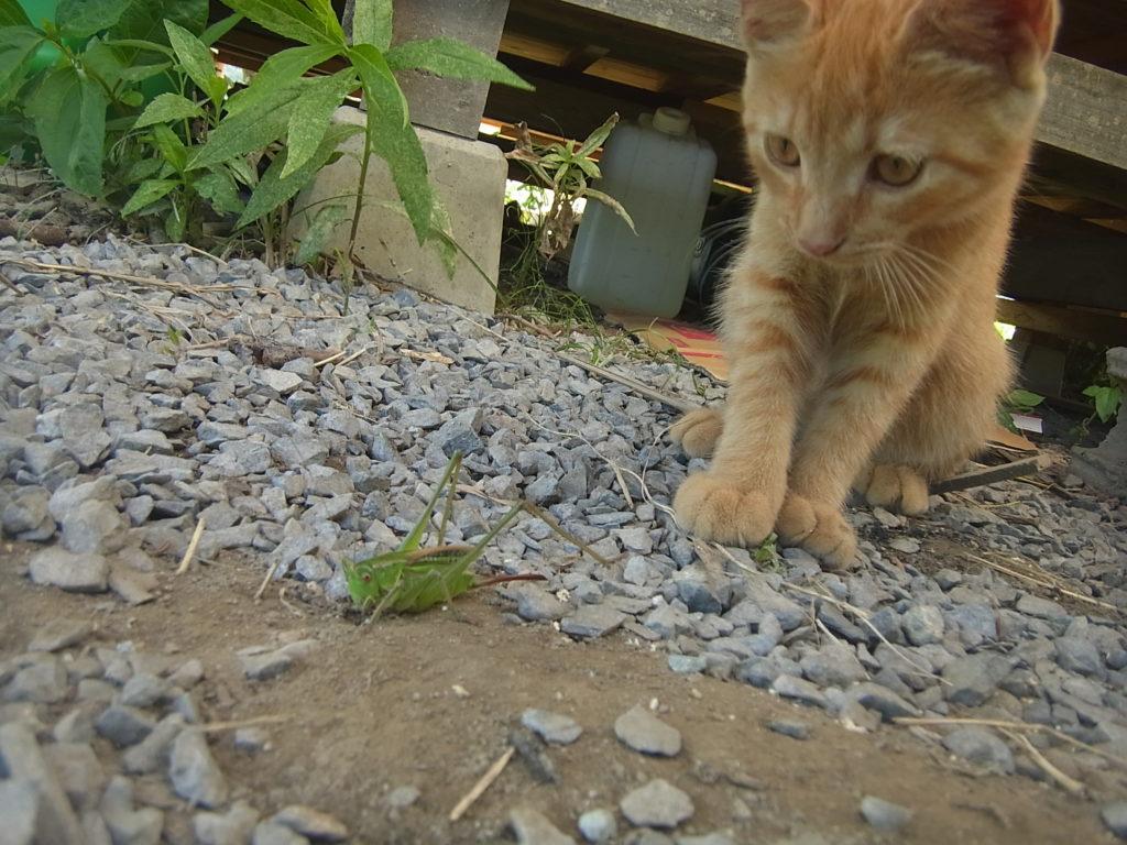 キリギリスを狙う猫。