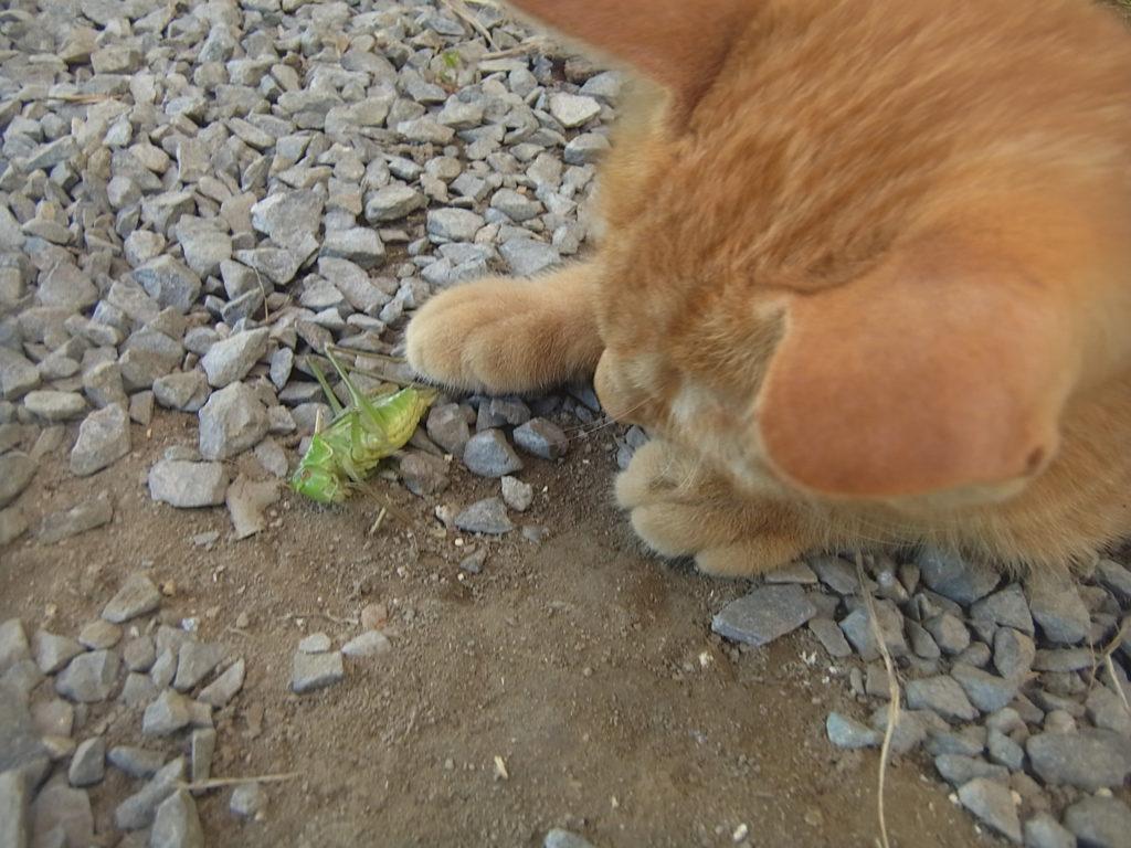キリギリスを右手で押さえる猫。