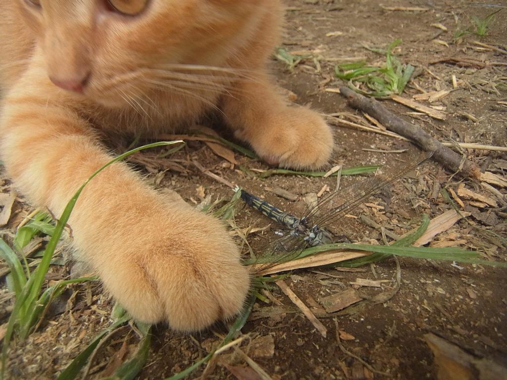 トンボを右手で押さえる猫。