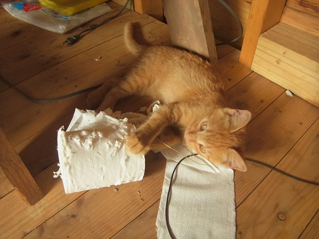 トイレットペーパーで遊ぶ茶トラ猫。