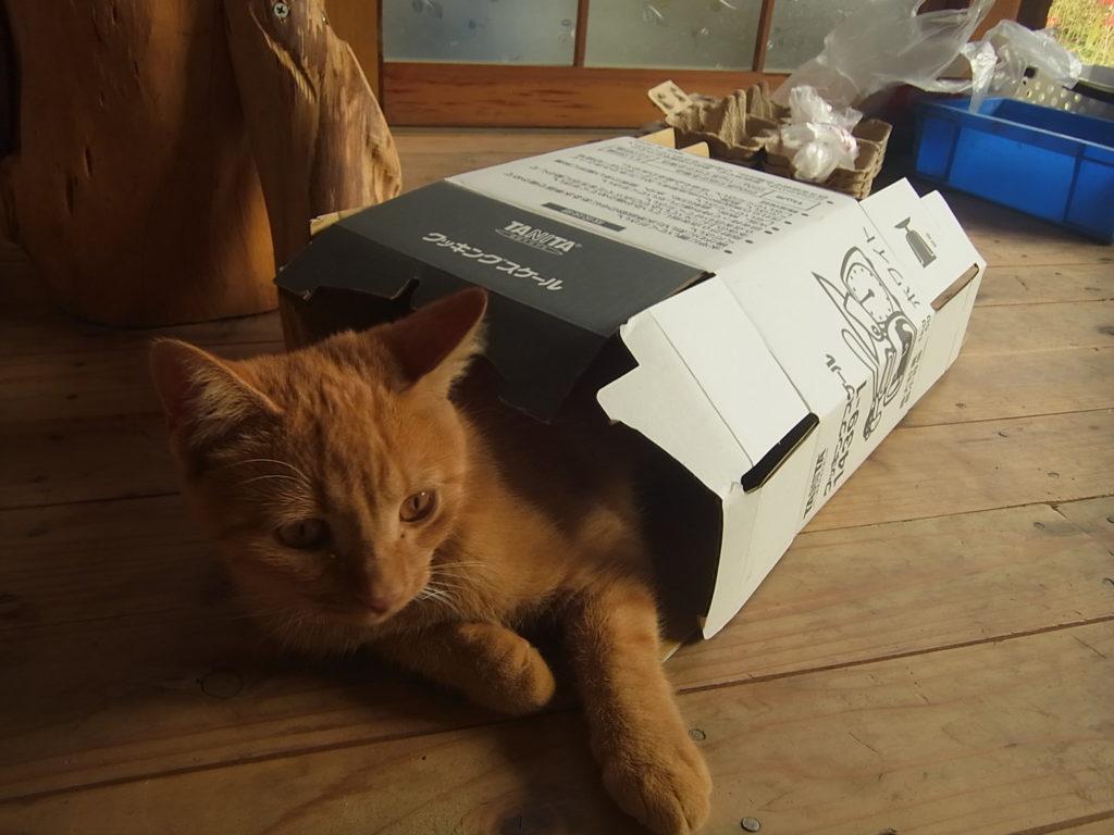 箱の中に入る猫。