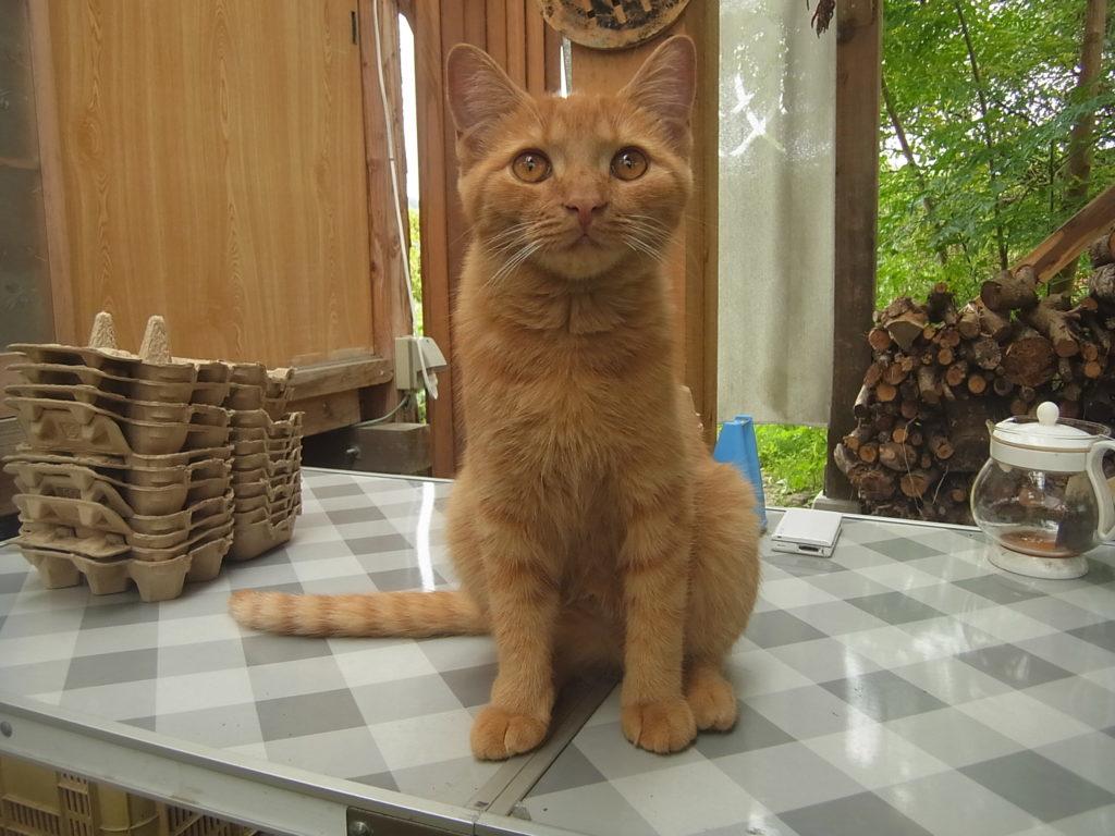 机の上でお座りした猫。