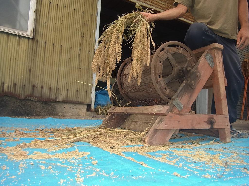 足踏み脱穀機ともち粟の穂を持つ人。