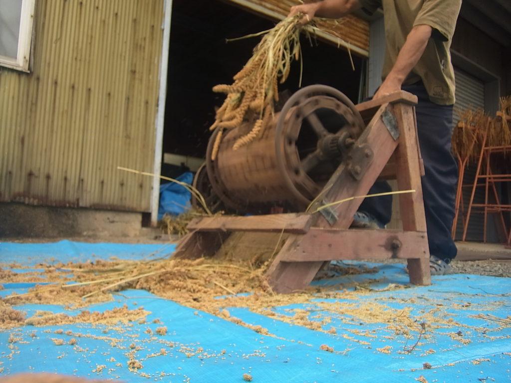 もち粟を足踏み脱穀機にかける人。