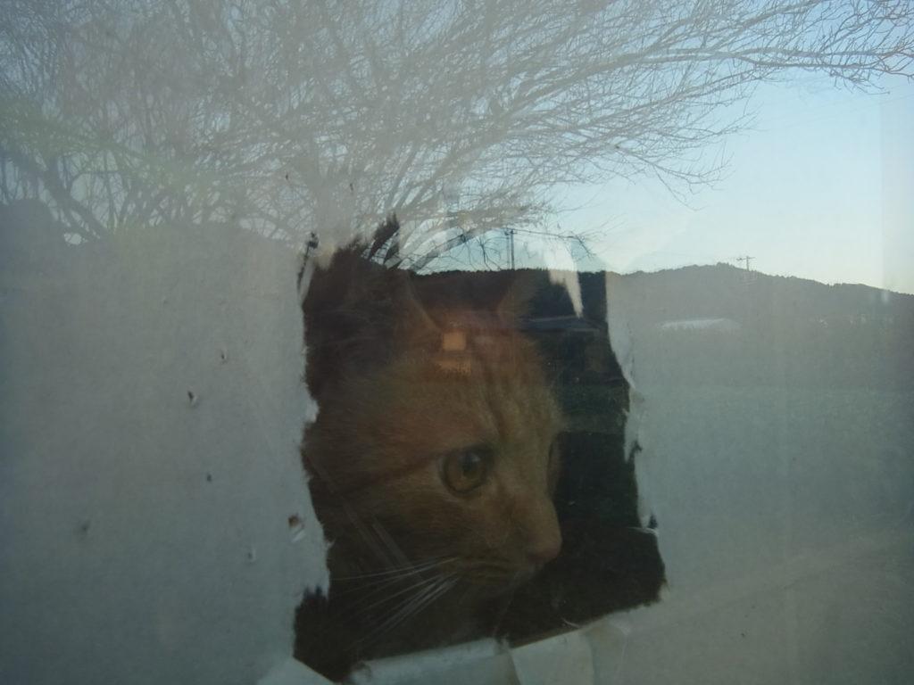 障子から外を除く猫のアップ。
