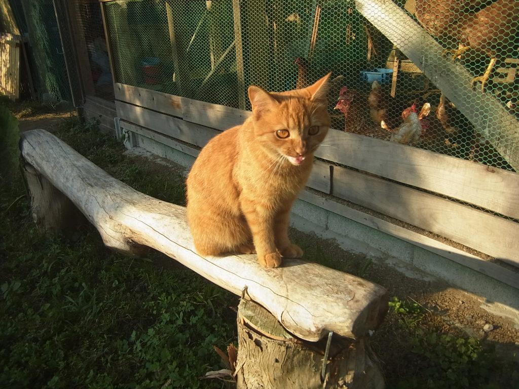 鶏舎の前の木の椅子に座る猫。