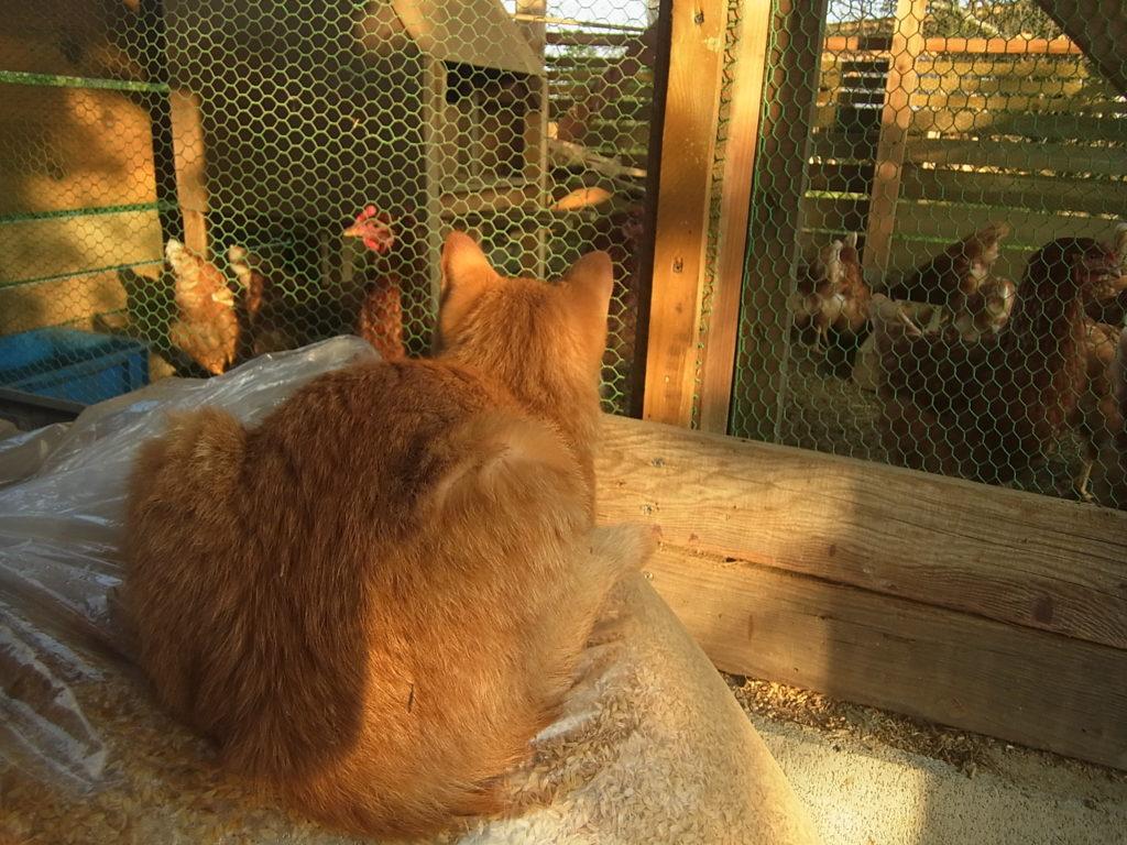 鶏舎の外から、中の鶏を眺めている猫。