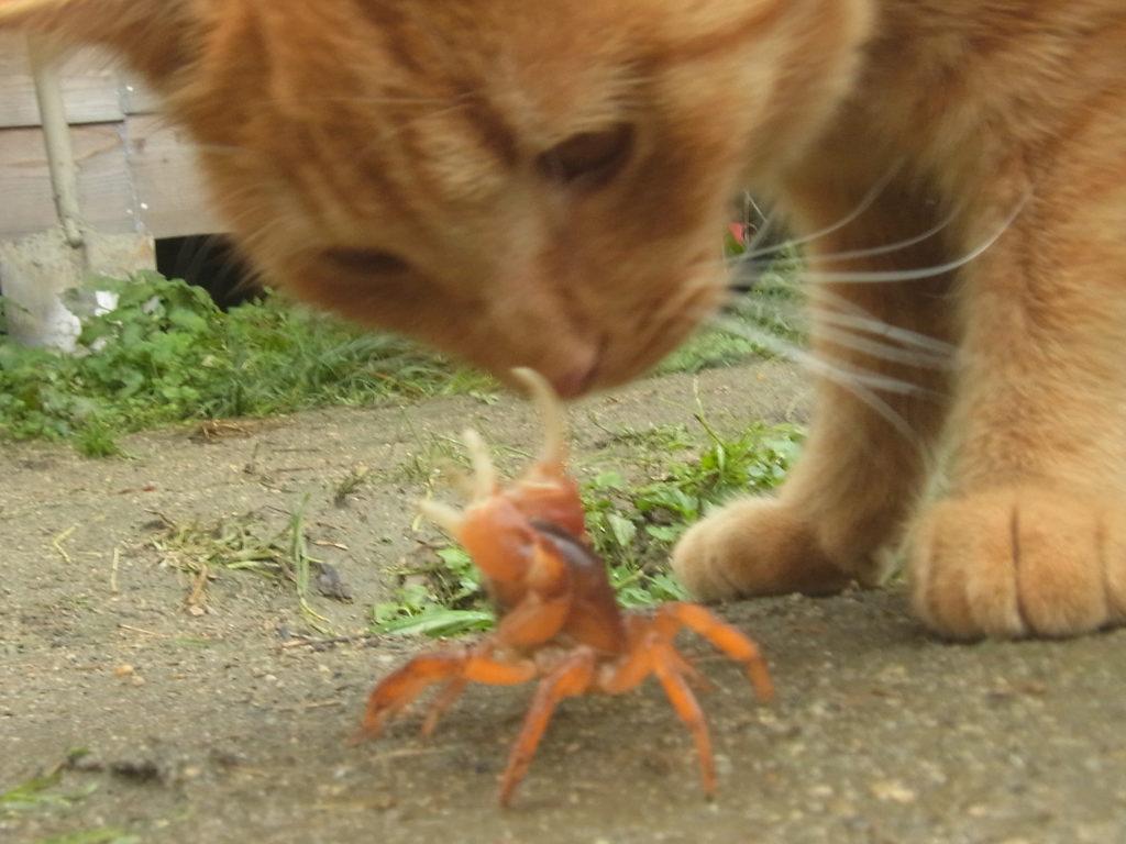 サワガニに遭遇する猫。