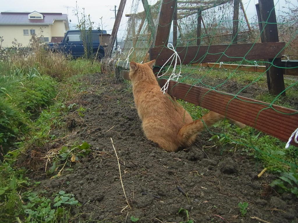 畑にトイレをする猫。