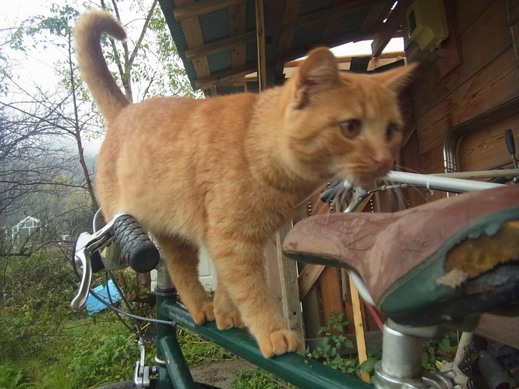 自転車のフレームを渡る猫。