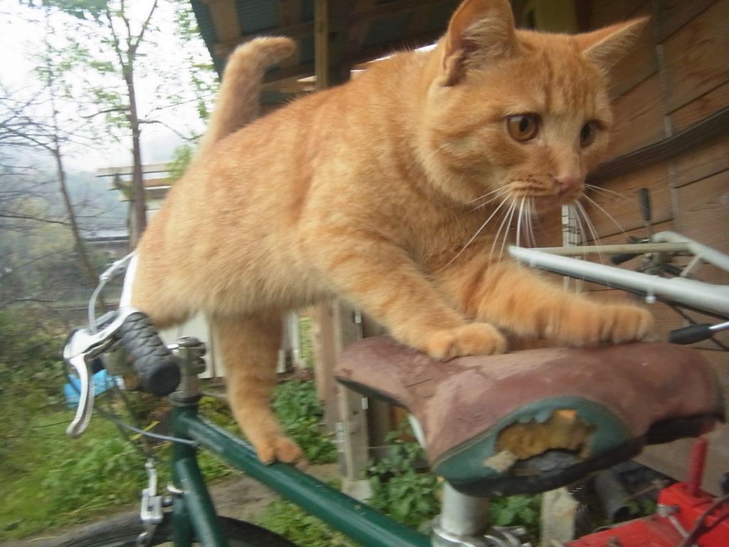 自転車のフレームを渡り、サドルに手をかける猫。