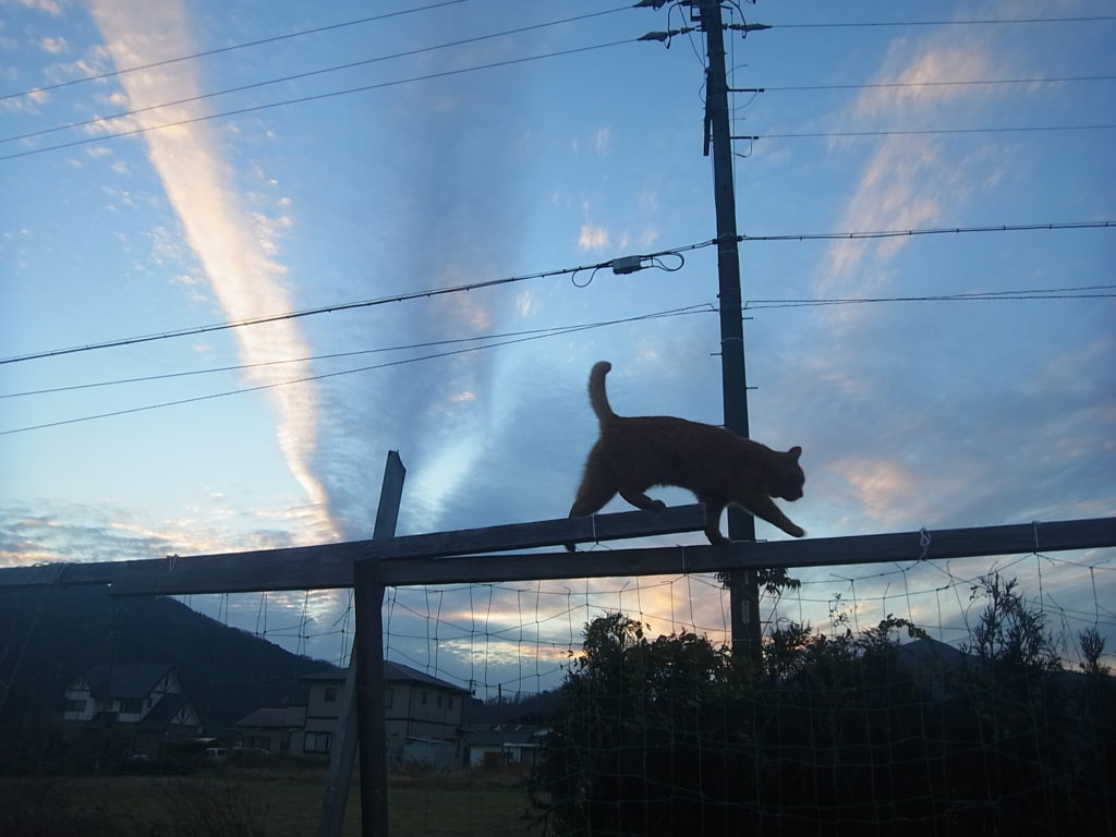 青い空をバックに野菜の支柱の上を歩く猫。