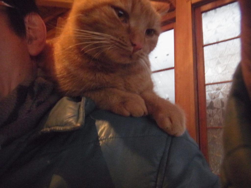 茶トラ猫が人の肩に乗っている。