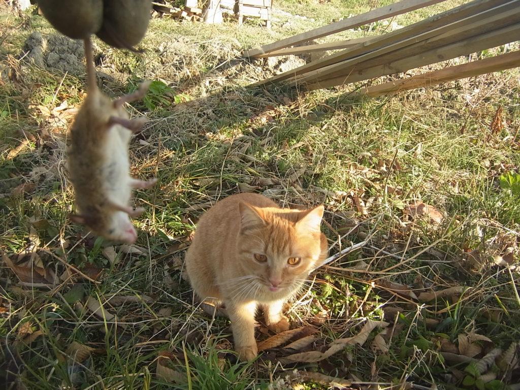 茶トラ猫がネズミを捕まえてきた。