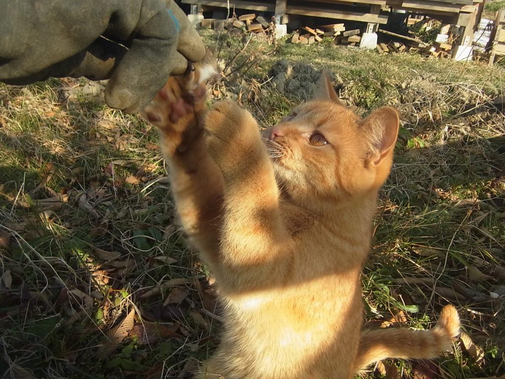 茶トラ猫が2本足になって、ネズミをおねだり。