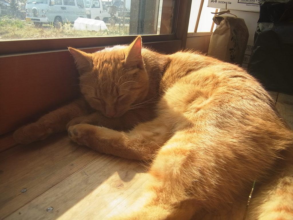 日の当たる窓辺で、茶トラ猫が日向ぼっこ。
