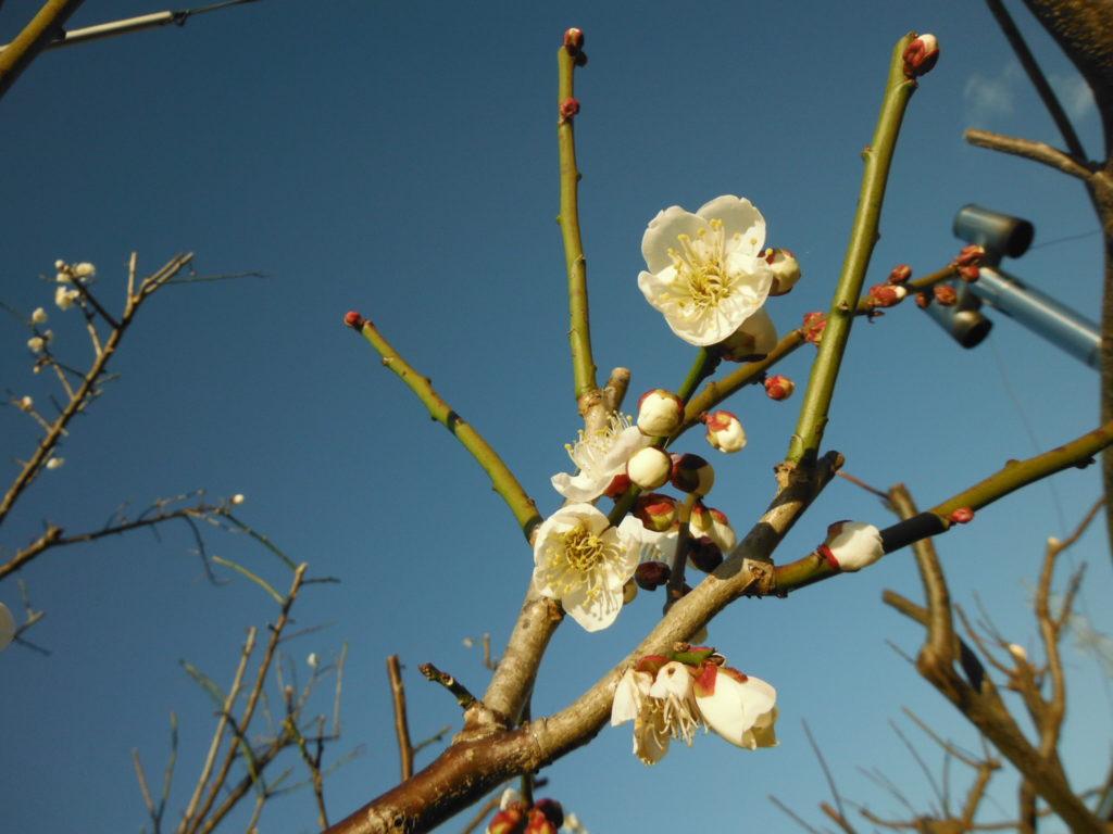 梅の花が咲き始めるy。