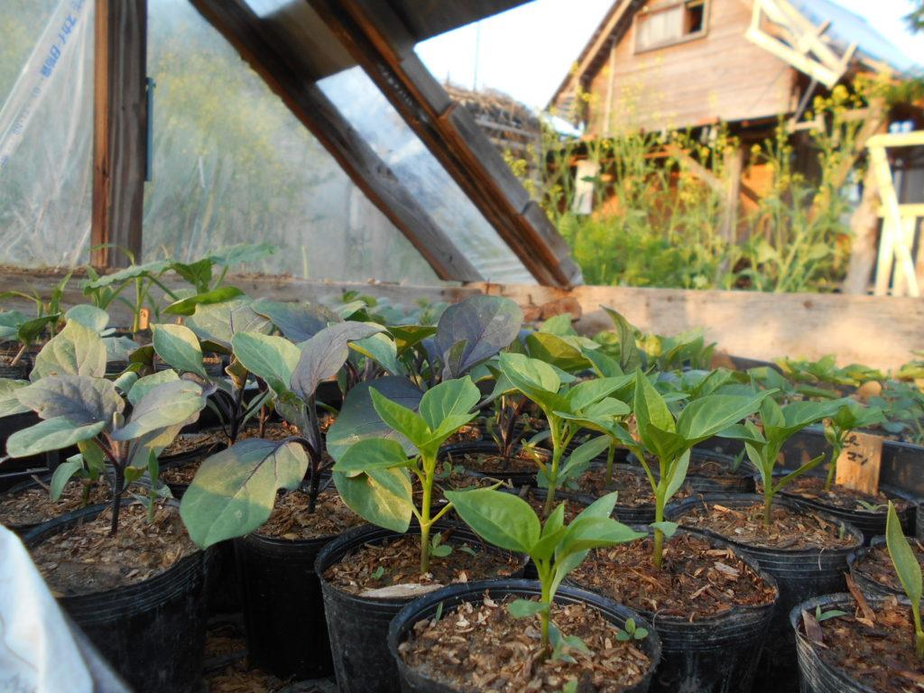 温床ハウスの野菜の苗。