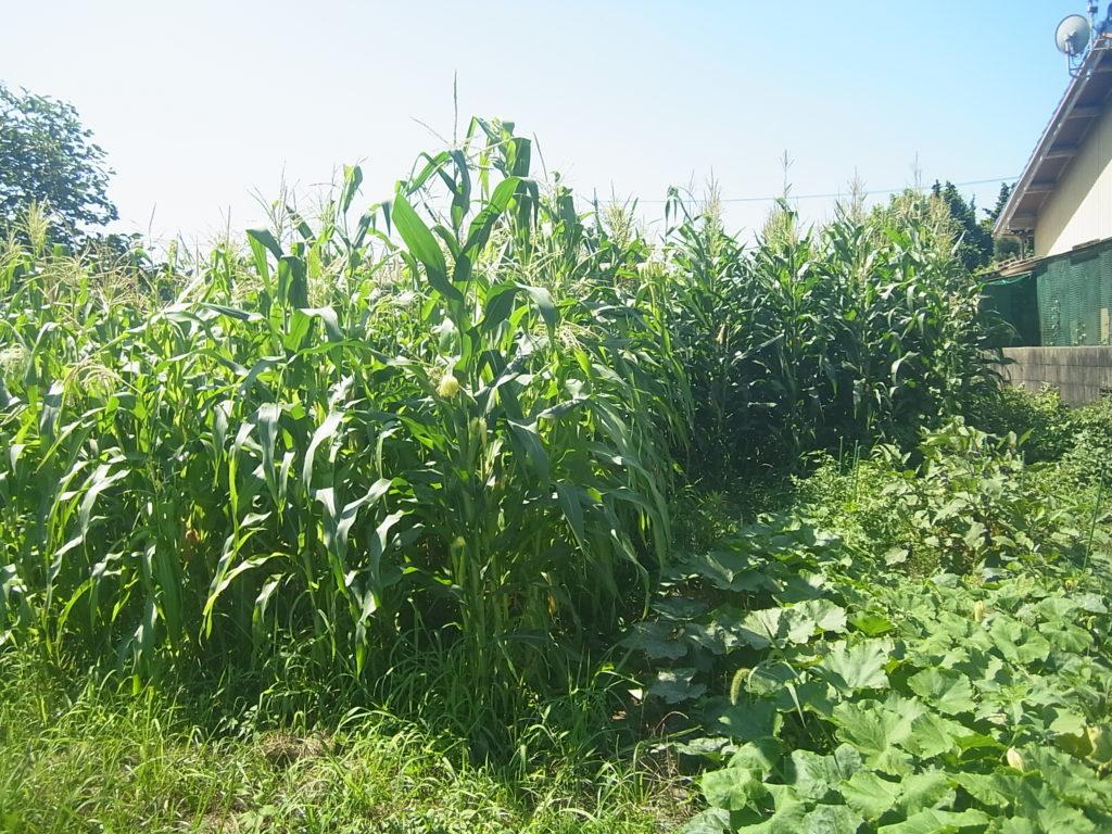 大きく成長したトウモロコシ畑。