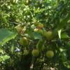 梅の収穫。