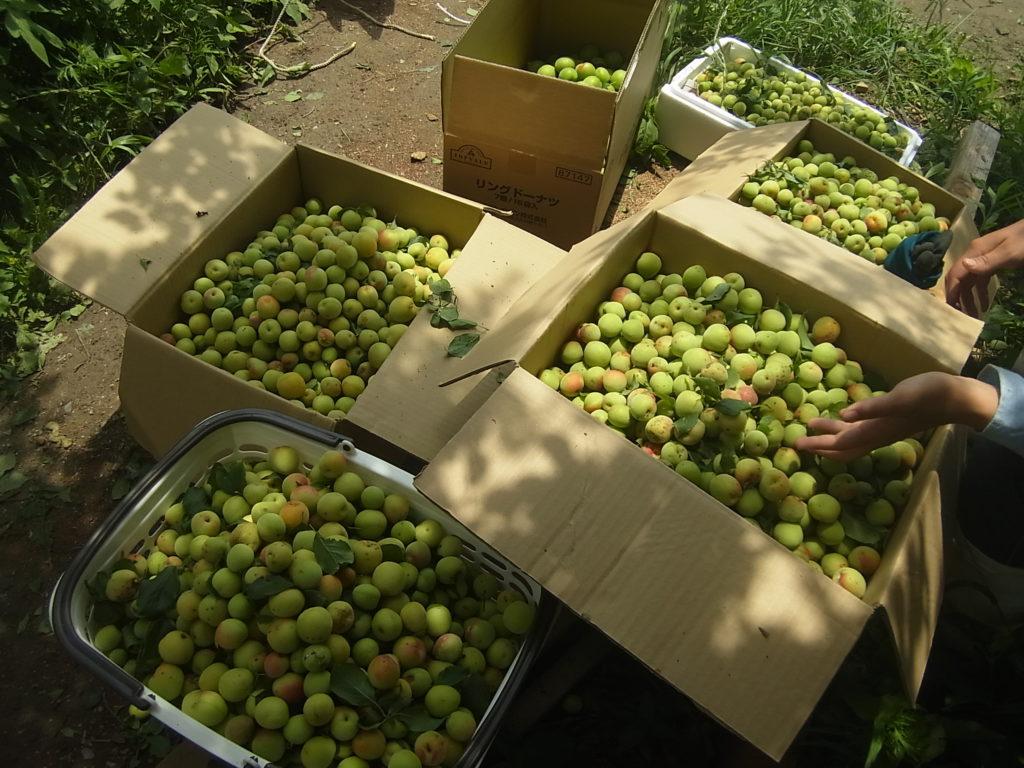 収穫された梅。