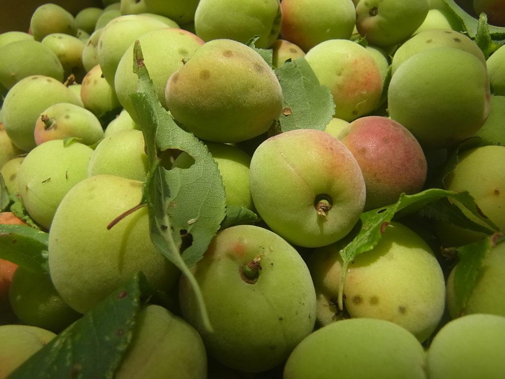 収穫された梅のアップ。