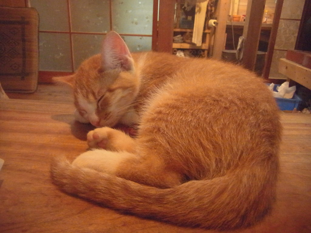 茶トラ白猫が丸まって寝ている。