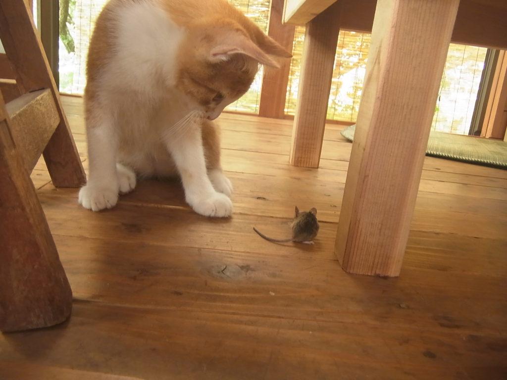 茶トラ白猫VSネズミ。