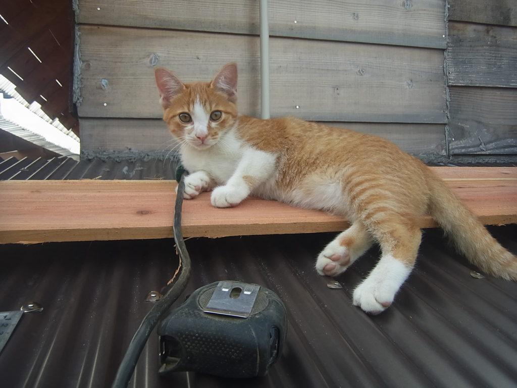 屋根の上の茶トラ白猫。