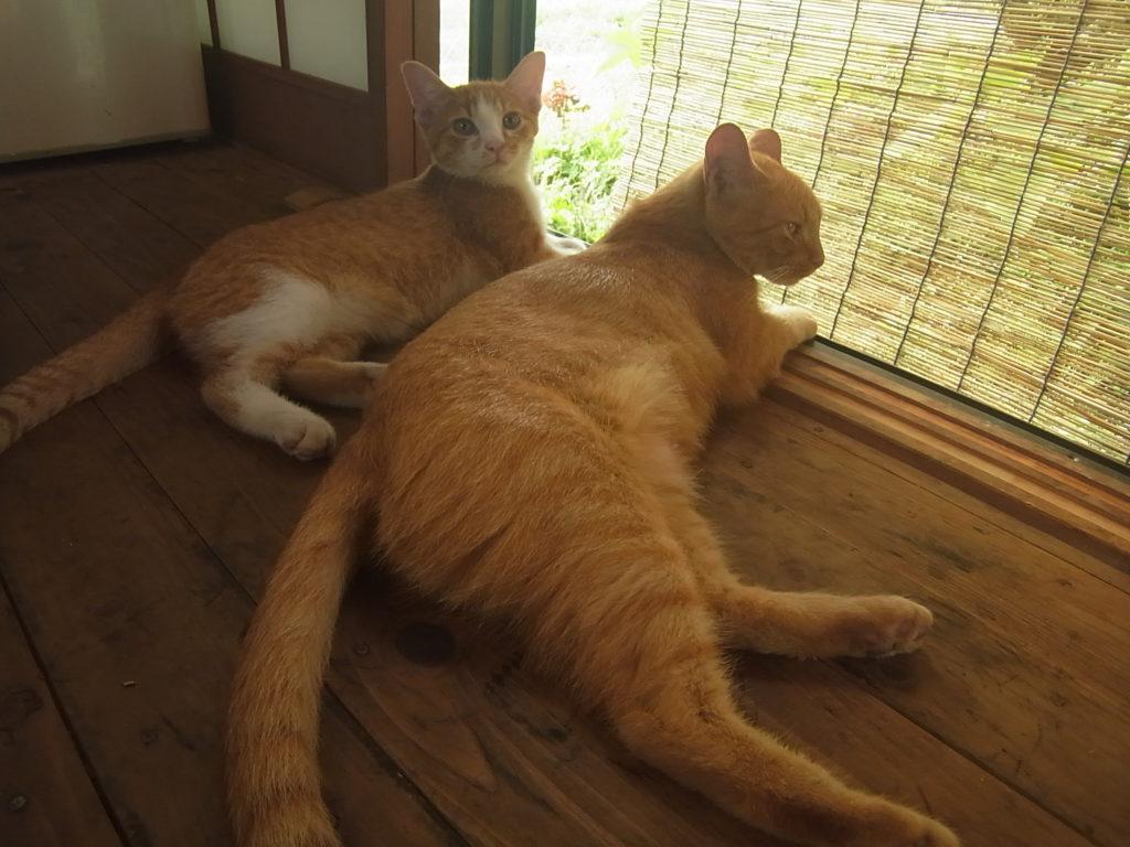 こちらを振り向く茶トラ白猫。