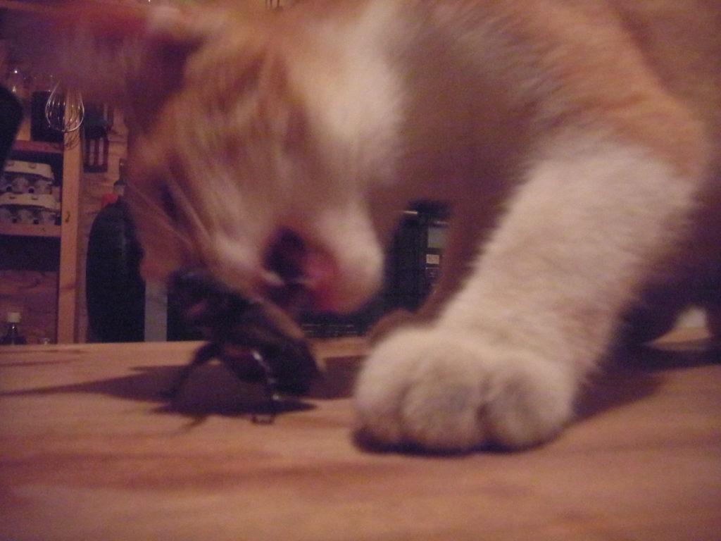 カブトムシにかみつく猫。