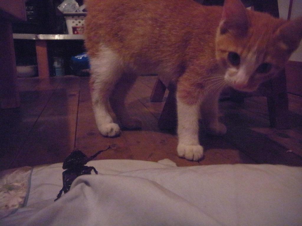 カブトムシVS茶トラ白猫。